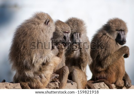 gossip monkey - stock photo