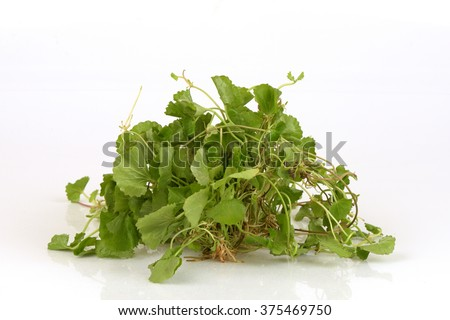 Gotu kola, Asiatic, medicinal herbs of Thailand. - stock photo