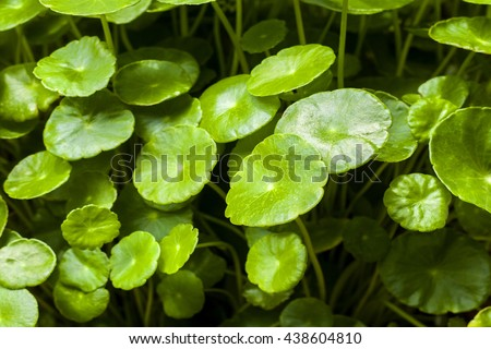 Gotu kola, Asiatic pennywort, Indian pennywort, green leaf background, Tiger Herbal in thailand