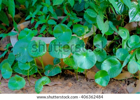 gotu kola background.Centella asiatica (L.) Urb. - stock photo