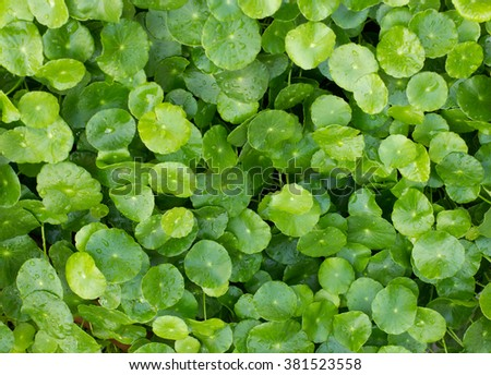 Gotu kola,Centella asiatica, Water drop on Water Pennywort background - stock photo