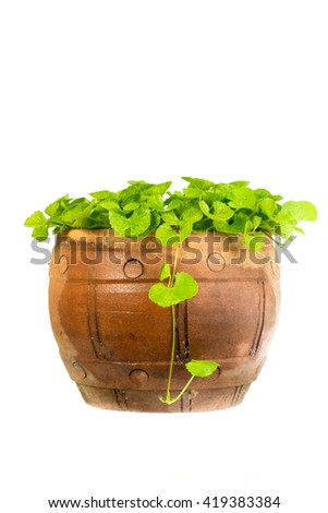 gotu kola leaf herb alternative medicine - stock photo
