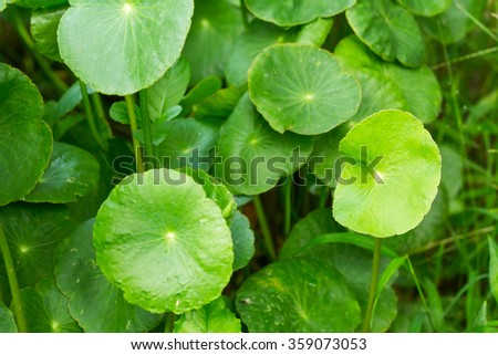 gotu kola leaves selective focus with shallow depth of field
