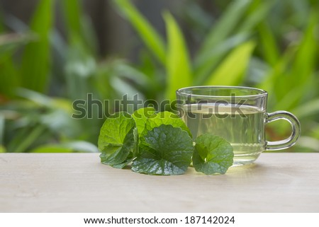 Gotu Kola or Centella Asiatica Medical Herb  - stock photo