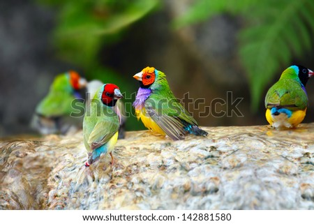 Gouldian Finch Colorful Birds Taking a Bath - stock photo