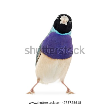 Gouldian Finch, Erythrura gouldiae, in front of a white background - stock photo
