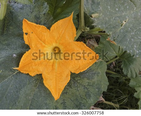 gourd flower close up details, zucchini - stock photo