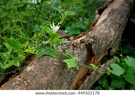 Gourd leaves and white flower on the broken texture of timber wood laying on the forrest floor