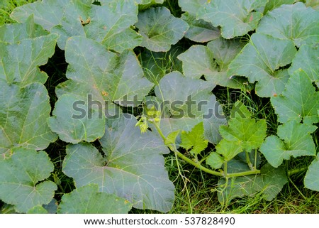 gourd leaves background