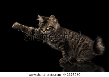 grabbing Kurilian Bobtail Kitty Raising paw, Isolated Black Background, Side view, Funny Hanting Tabby Cat without tail - stock photo
