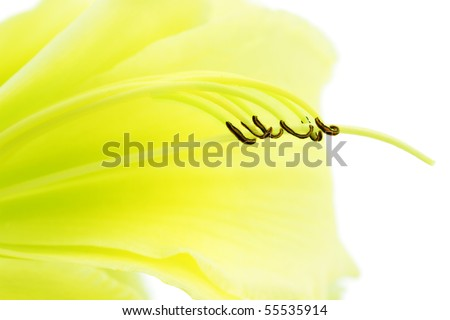 Graceful abstract of the interior of a yellow daylily flower isolated on white. - stock photo