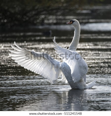 Graceful beautiful mute swan stretches it's wings on lake with sun behind