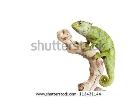 Graceful Chameleon on white background. - stock photo
