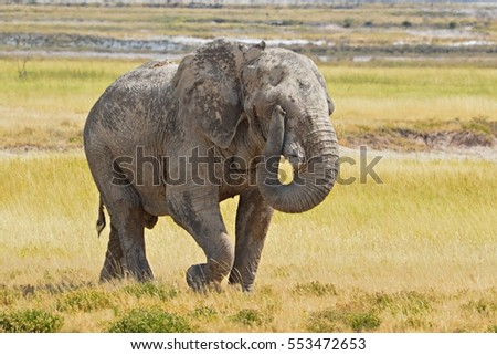 Graceful Elephant on the way to a water hole in the Etosha National Park