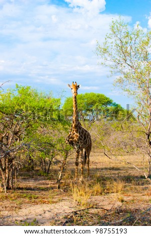 Graceful giraffe eating branch of the tree in national Kruger Park in South Africa