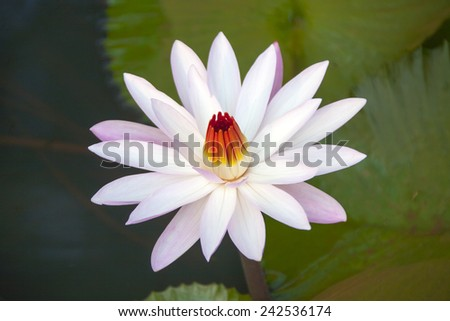 Graceful lily in the water.