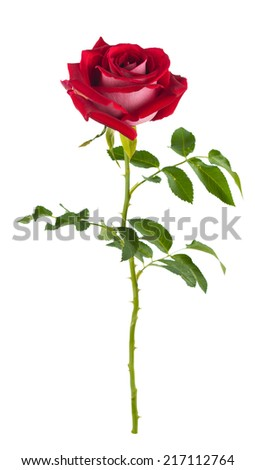 Graceful rose gently in red .isolated - stock photo