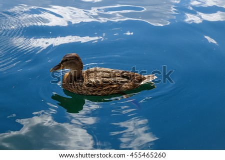 Graceful wild duck swim in blue water. Beautiful bird in its natural nature. Idyllic to the eye picture. - stock photo