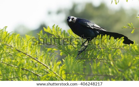 grackle perched in branch singing