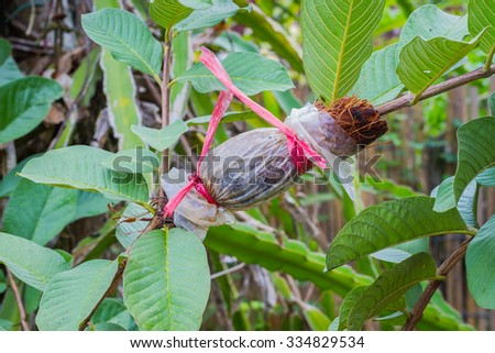 graft on green guava branch, agricultural technique. - stock photo