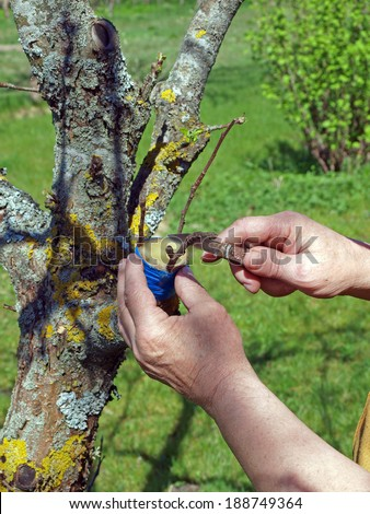 Grafting old apple tree on spring close up - stock photo