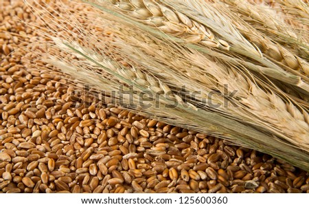grain and ears of corn of wheat in the major plan of the texture image - stock photo