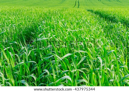 Grain crop field