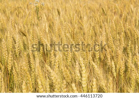 Grain crop ripens under a blue sky and the Summer sunshine of a Western New York field.  - stock photo