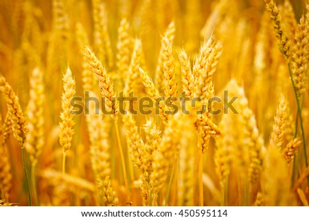 Grain field.Backdrop of ripening ears of yellow wheat field on the sunset sky background. Copy space of the setting sun rays on horizon in rural meadow. Close up nature photo. Idea of a rich harvest - stock photo