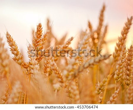 Grain field.Backdrop of ripening ears of yellow wheat field on the sunset sky background. Copy space of the setting sun rays on horizon in rural meadow. Close up nature photo. Idea of a rich harvest