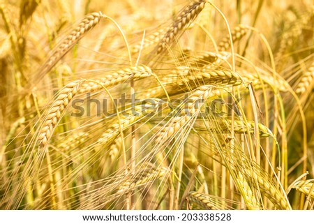 Grain field of barley is nearly ready for harvest - stock photo