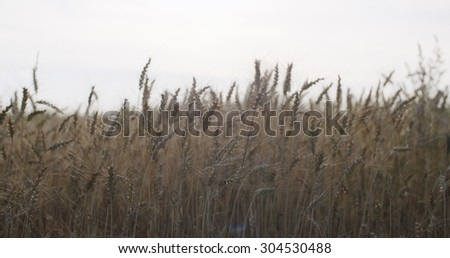 grain field with wheat or rye ready for harvest, shallow focus - stock photo