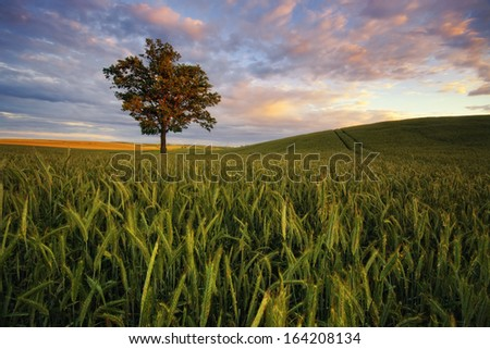 Grain maturation of sunsets  - stock photo