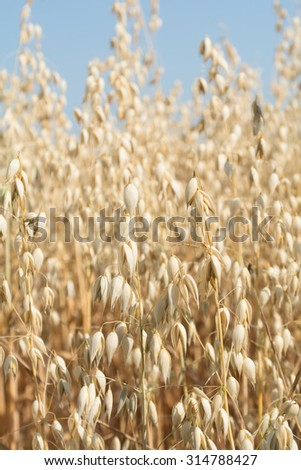 Grain oats - close-up