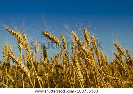 grain ready for harvest