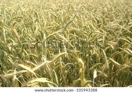 grain rye wheat field summer background - stock photo