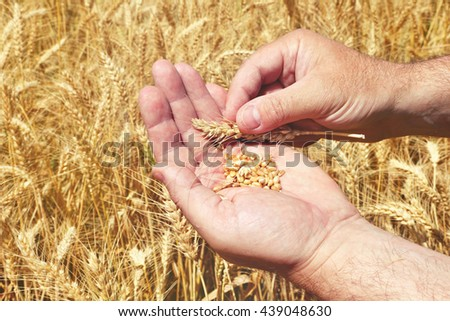 Grains in a farmer's hands on the wheat field background. Harvesting. Agricultural theme. Toned colors image