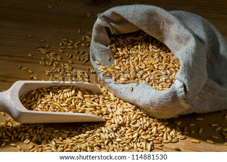 grains of oats. yields for corn in agriculture - stock photo