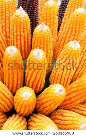 Grains of ripe corn. Macro image. - stock photo