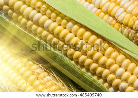 Grains of ripe fresh organic corn of the new harvest gathered in ecologically clean area of the country, close, background