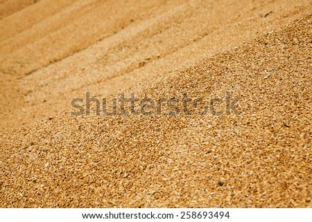 grains of wheat collected in heaps during harvesting - stock photo