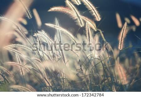 Gramineae grass - stock photo