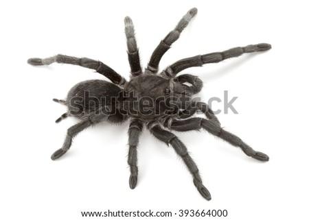 Grammostola pulchra or Brazilian black tarantula, close up isolated on white background  - stock photo