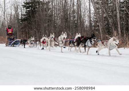 GRAND MARAIS, MN - JANUARY 26: Saeward Schillai's team trail races during the Mid-distance portion of the John Beargrease Sled Dog Race. Schillai finished 19th on January 26, 2015 in Grand Marais, MN - stock photo