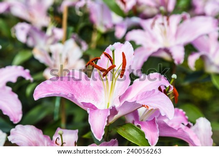 Grand pink lily on a flowerbed
