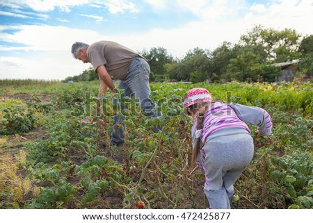 Grandfather and little granddaughter are working in large vegetable garden. Main subject of this photo is a girl. Photo has selective focus (girl is focused). Girl helps grandfather pick red tomatoes