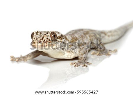 Grandidier's velvet gecko, or Madagascar velvet gecko (Blaesodactylus sakalava) close-up isolated on white background