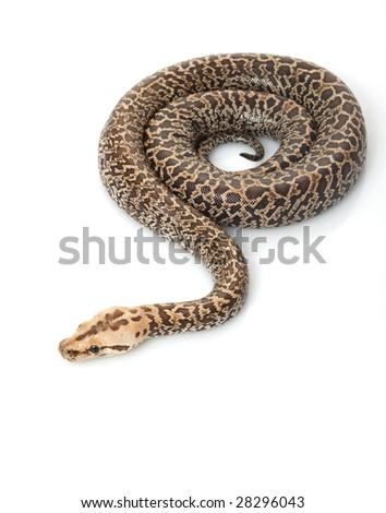 Granit Burmese Python (Python molurus bivittatus) isolated on white background. - stock photo