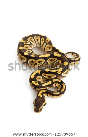 Granit Mojave Ball Python (Python regius) isolated on white background.
