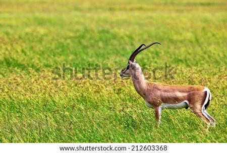 Grant's Gazelle in Serengeti National Park, Tanzania - stock photo